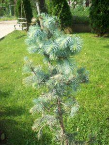 Picea pungens kalem