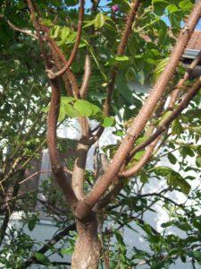 Robinia pseud Umbraculifera
