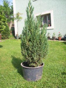 juniperus shinesis stricta