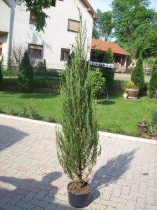 juniperus vigriniana skyrocket