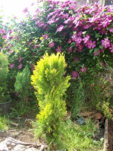 thuja occidentalis aurea
