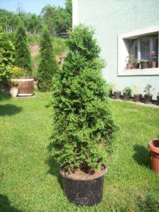 thuja occidentalis columna_1