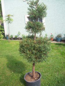 thuja occidentalis rheingold